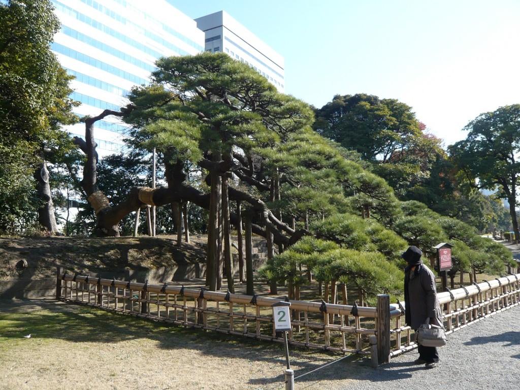 a hama-pine